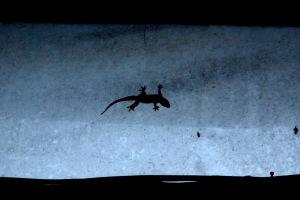 DSC_0334 b1 blue gecko